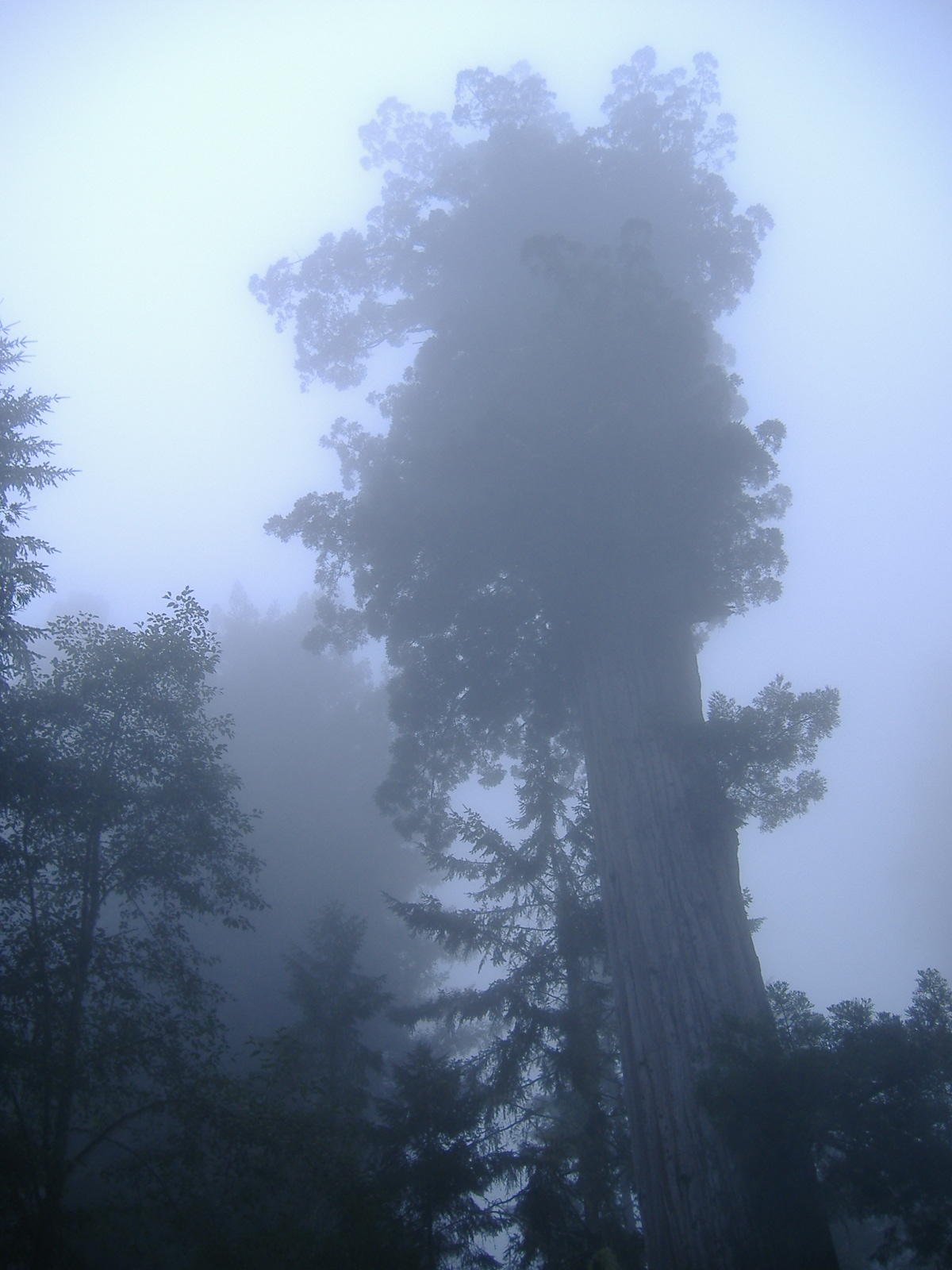 redwood in fog